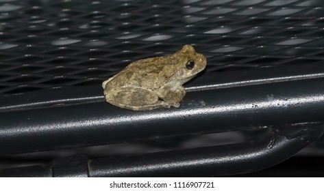 Kentucky's tree frog on deck chair