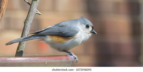 Kentucky's tufted titmouse
