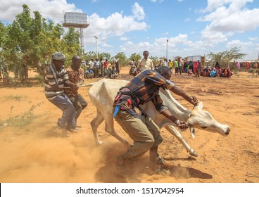 Kenya, Africa: August 13, 2019 - A group of Somali man catch the cattle to their food, thousands of Somalis hoping and waiting for help at hunger and poverty at Dadaab Refugees Camp.