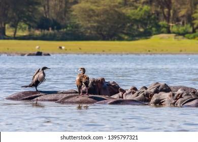 Kenya. Africa. Lake Naivasha in Kenya. Birds sitting on the hippos submerged in lake Naivasha. African behemoths. Wild aquatic birds of Kenya. African wildlife.