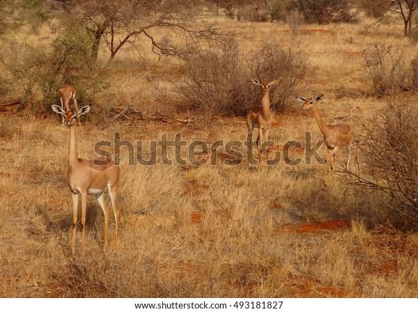 Kenya, Chamois
