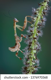 A Kenya Flower mantis nymph is climbing a hanging tree bud.