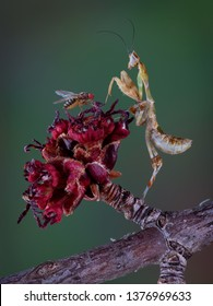 A Kenya Flower mantis nymph is looking at a fruit fly on a maple tree bud.