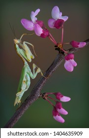 A kenya flower mantis is touching a bud of a spring tree.