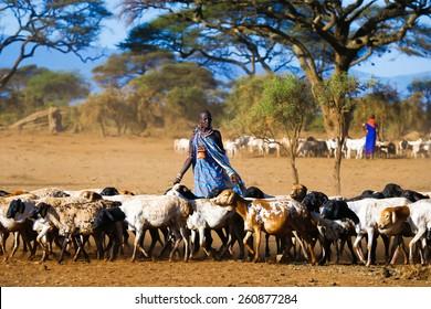 Kenya January 30, 2015  year. Masai shepherdess brings early morning herd of goats on pasture in Amboseli