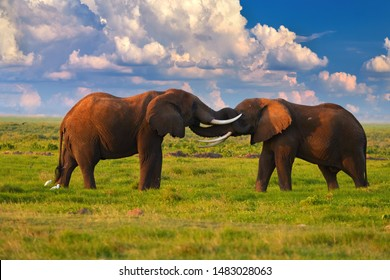 Kenya safari. African holiday at the foot of a volcano Kilimanjaro, green season in Amboseli national park. Two huge african elephants are touching their trunks to each other against dramatic sky.