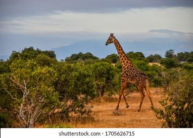 Kenya, Safari, giraffa in the middle of savanna