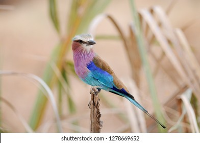 Kenya, Samburu National Reserve, Lilac-breasted Roller, Coracias caudatus, perched on a branch