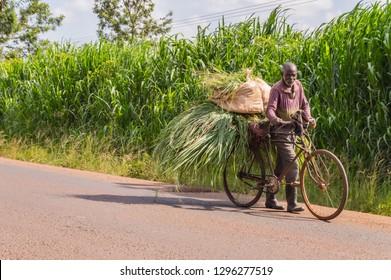 KENYA, THIKA - 28 DECEMBRE 2018 :Elderly Kenyan farmer carrying