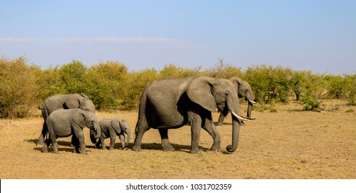 Kenya wildlife - the elefant in natural habitat
