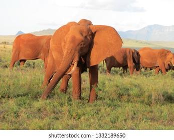 kenyan adult elphant