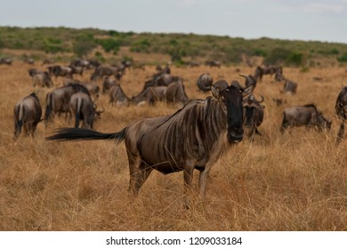 Kenyan gnu with his pack