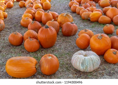 Kept in the open shade are rows of varying size harvested pumpkins.