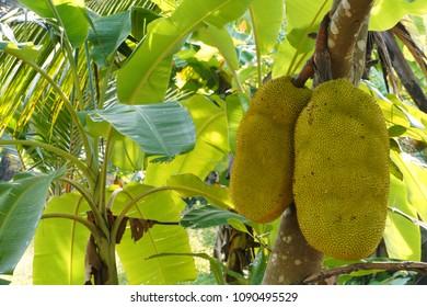 Kerala Jackfruit (Artocarpus heterophyllus). Locally called Varikka Chakka, India, Asia
