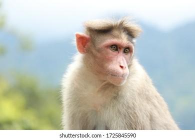 kerala wayanad cute monkey portrait pic