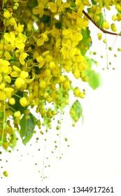 Kerala,vishu, kanikonna ,cassia fistula flowers bloom background