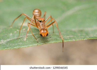Kerengga ant-like jumper spider  Myrmarachne plataleoides ant mimicry