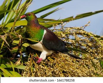 Kereru (New Zealand Wood Pigeon) Eating Cabbage-Tree Berries, Waiheke Island, New Zealand
