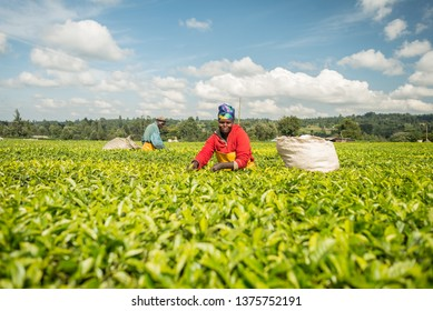 Kericho / Kenya - September 27, 2016: A woman tea plucker taking tea leaves and smiling to the camera in a tea plantation near the city of Kericho, Kenya, Africa