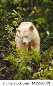 Kermode Bear from British Columbia