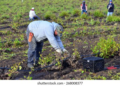 KERN COUNTY, CA - APR 8, 2015: A Mexican man working in a  San Joaquin Valley vineyard begins early in the morning to pull weeds and trim plants.