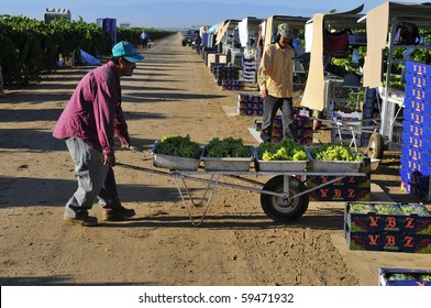 KERN COUNTY CA - AUG 21:The grape harvest is in full swing in vineyards on August 21, 2010 in Kern County, California. Farm workers pick, sort, cull and pack grapes for distribution to markets.