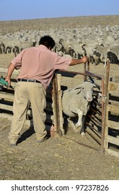 KERN COUNTY, CA - MAR 10:  A ranch hand assists in gathering and sorting shorn sheep for transporting to graze in green alfalfa fields on March 10, 2012, in Kern County, California.
