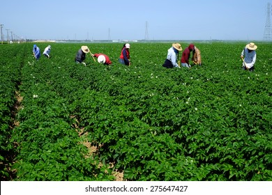 KERN COUNTY, CA - MAY 6, 2015: Mexican-American farm workers are hoeing between rows of potatoes on this large Central California farm.