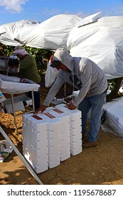 KERN COUNTY, CA - OCTOBER 4, 2018: An unidentified Mexican-American field hand is packing grapes for market in a San Joaquin Valley vineyard.