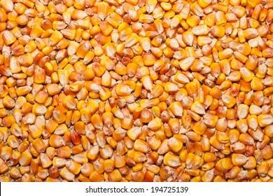 Kernel corn beans. Grains of corn close-up. Corn on sacking background. Food and agriculture concept.