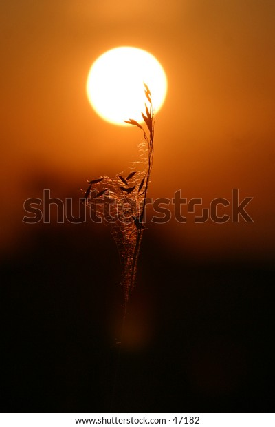 kernels of grain trapped in a web, are silhoutted by the setting sun