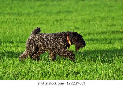 the Kerry blue terrier