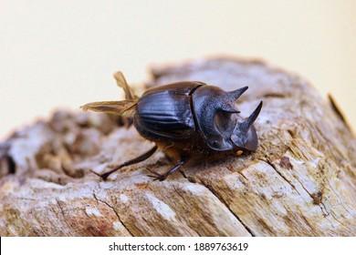 Kershaw's Burying Beetle (Onthophagus mniszechi), South Australia