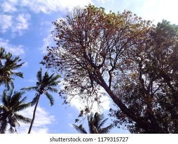 Kesambi Tree Or Schleichera Oleosa In The Dry Season, Banjar Kuwum, Ringdikit Village, North Bali, Indonesia