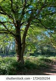 Kesgrave, Suffolk, UK - 6 May 2020: Turkey oak tree in woodland lit by the evening sun.