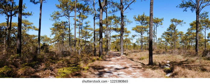 Kesiya pine forest with blue sky background at Phu kradueng national park. panorama landscape