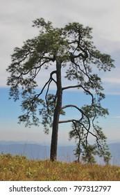 kesiya pine tree