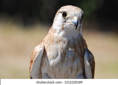 Kestrel bird viewing in Australia