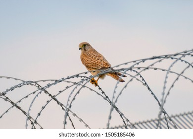 Kestrel. Birds at the airport sitting on the fence