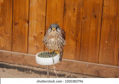Kestrel - Falco tinnunculus, Falco