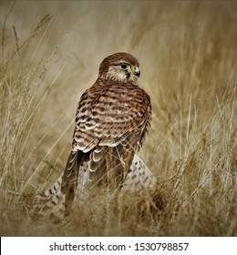 Kestrel (Falco tinnunculus) British bird of prey, photographed in the wild in Dorset with a Canon 80D body & Sigma Sports Lens