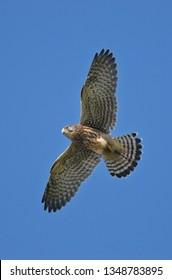 Kestrel (Falco tinnunculus) flying over the Gower Peninsular, Wales, UK