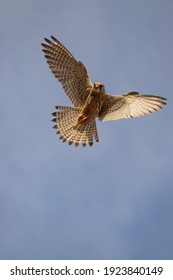 a kestrel (Falco tinnunculus) hovers directly overhead in a clear blue sky whilst scanning the ground below for prey