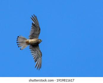 Kestrel in flight against the sky