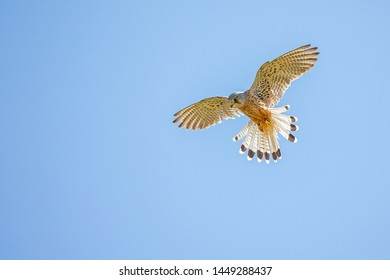 Kestrel hovering against a blue sky