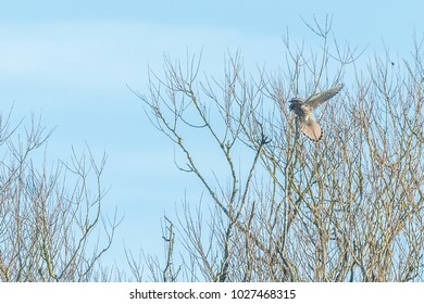 Kestrel perched in tree