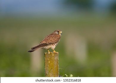 Kestrel sittin on a Fence