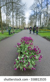 Keukenhof Garden, Holland 4 April 2015 - Multiple colors tulips blooms in the garden. People come to visit.