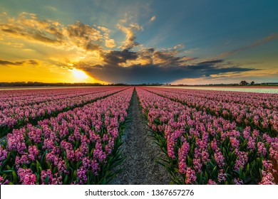 The keukenhof Gardens, The Gardens of Europe, is one of the world's largest flower gardens, situated in Lisse, South Holland, Netherlands.