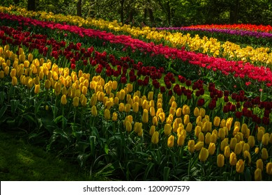 Keukenhof, Lisse, the Netherlands - May 3, 2018 : An array of colours in a flower field in the Keukenhof